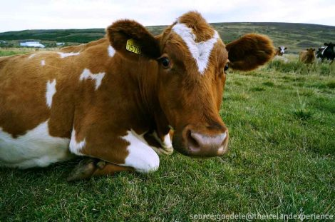 - one of the cows on the farm i was staying at. isn't he cute? -