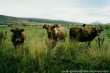 - a herd of cows grazing the fields on a farm i had volunteered to work at -